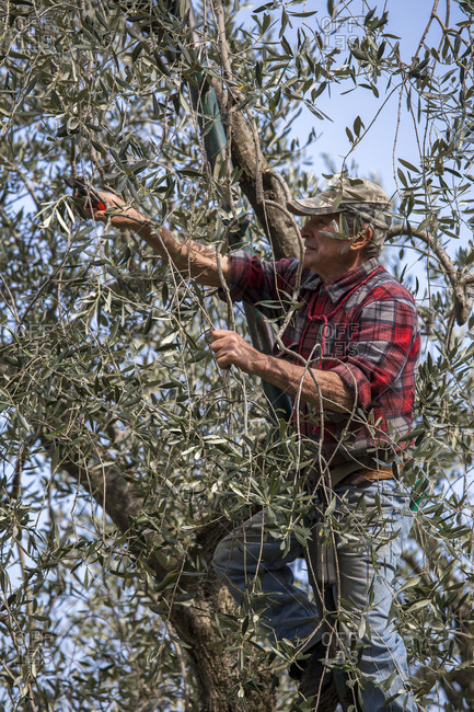 Lake Garda, Italy - April 7, 2017: Lake Garda, Italy - April 7, 2017: Verona, Italy - April 7, 2017: Farmer plows his olive trees in Malcesine on Garda lake, Italy
