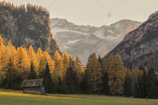 Golden larches and Braies Dolomites (Croda del Becco ) on background at sunset