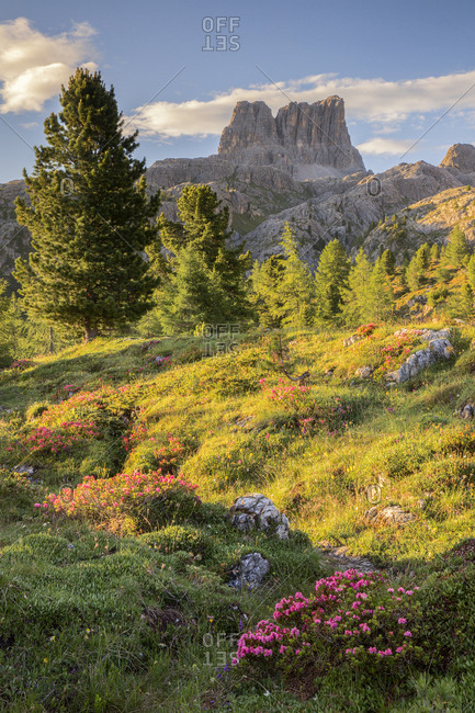 Flowering of rhododendrons on the meadows of Passo Falzarego, on background the Averau, Dolomites, Cortina D'Ampezzo, Italy