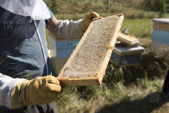 Midsection of beekeeper examining beehive frame during sunny day