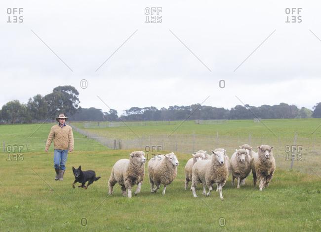 Penshurst, Victoria, Australia - September 30, 2017: Dog herding sheep while sheep farmer walks behind