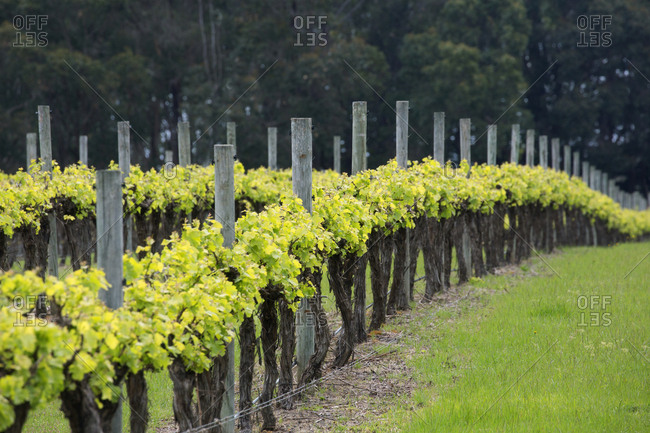 Rows of grapevines in vineyard in the countryside south of Perth, Australia