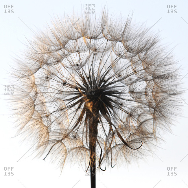 Meadow Salsify against white ground