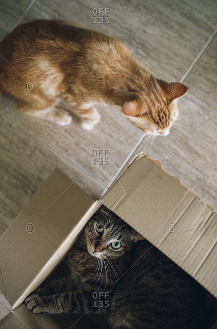 Two cats playing with cardboard box
