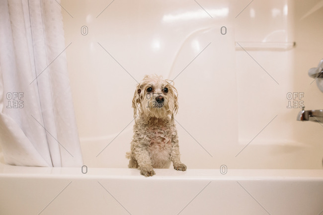 Wet white dog in a bathtub