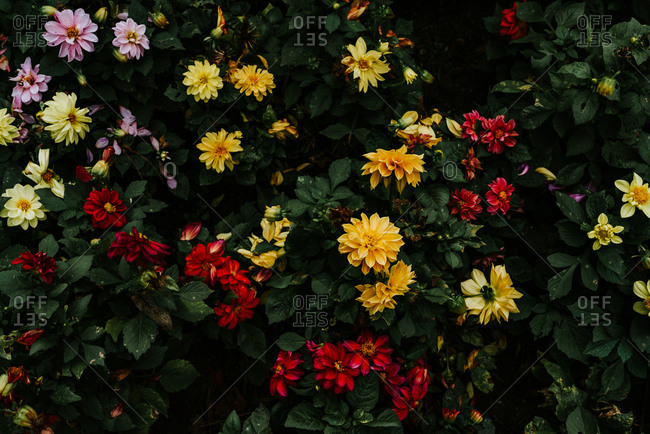 Bush of yellow and red autumn flowers