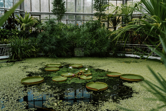 Small swamp like lake filled with big water lilies called Victoria Amazonica