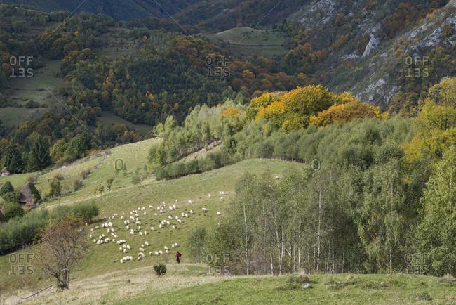 Posaga de Sus, Alba, Romania - October 17, 2015: Flock of Sheep, Ovis aries, in autumn landscape