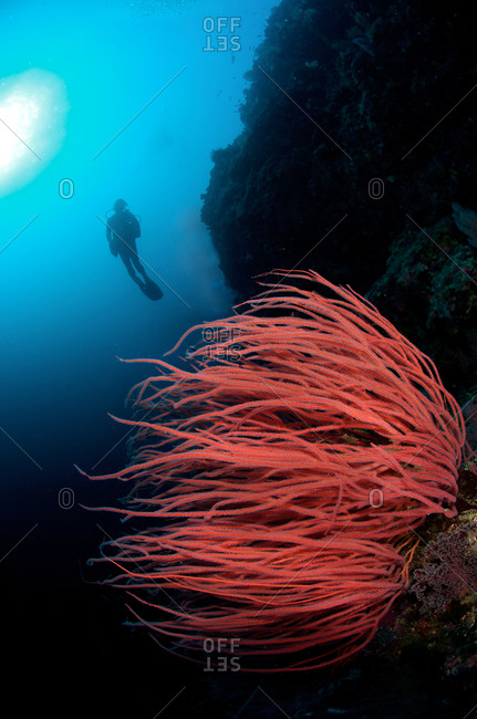 A scuba diver hovers behind Red Sea Whip Coral, Ellisella ceratophyta, at Tubbataha Reefs Natural Park