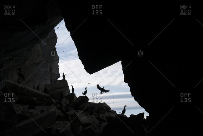 European shags, Phalacrocorax aristotelis, at the entrance of a cave