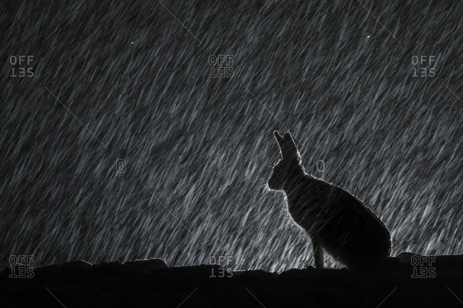 Mountain hare, Lepus timidus, in snow at night