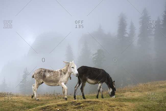 Donkeys in foggy Norway spruce forest high up in the Carpathians