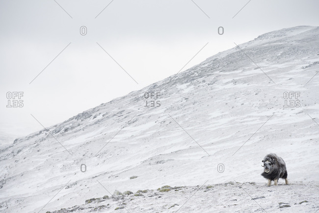 Muskox, Ovibus moschatus, in snow covered mountain landscape