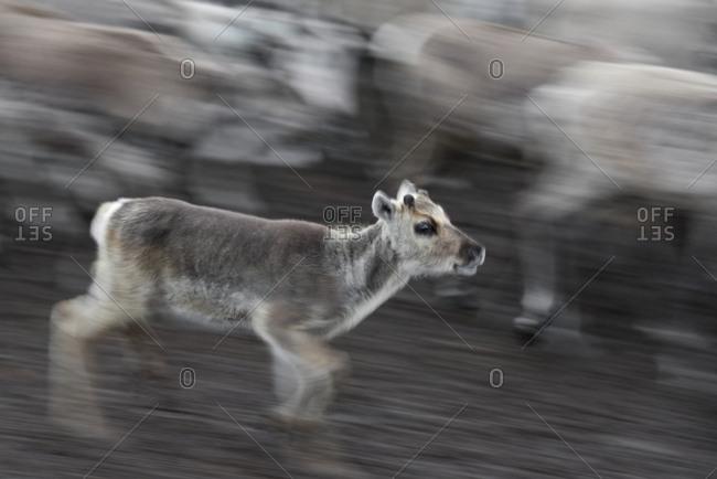 Semi-domesticated reindeer, Rangifer tarandus, running inside an enclosure during calf-marking