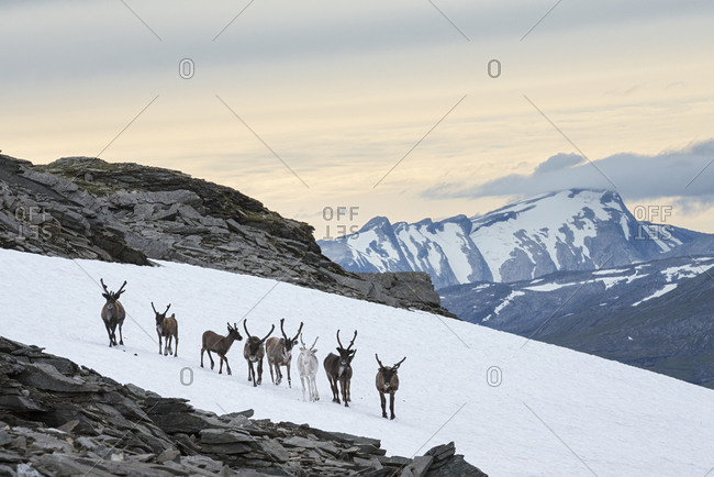 On a warm summer day, semi-domesticated reindeer, Rangifer tarandus, gather on snow patches in order to cool down and avoid insects