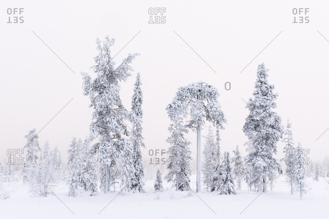 Frozen Norway spruce, Picea abies, and Scots pine, Pinus sylvestris, trees in winter