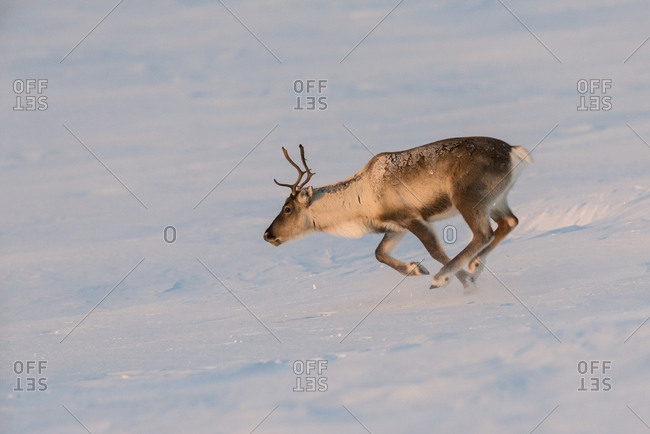 Semi-domesticated Reindeer, Rangifer tarandus, running in snow covered mountain landscape