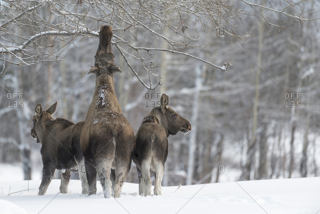 Female European elk, Alces alces, with her two calves
