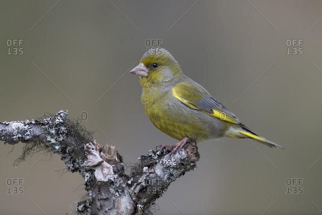 Male European Greenfinch, Choris chloris, perching on tree branch