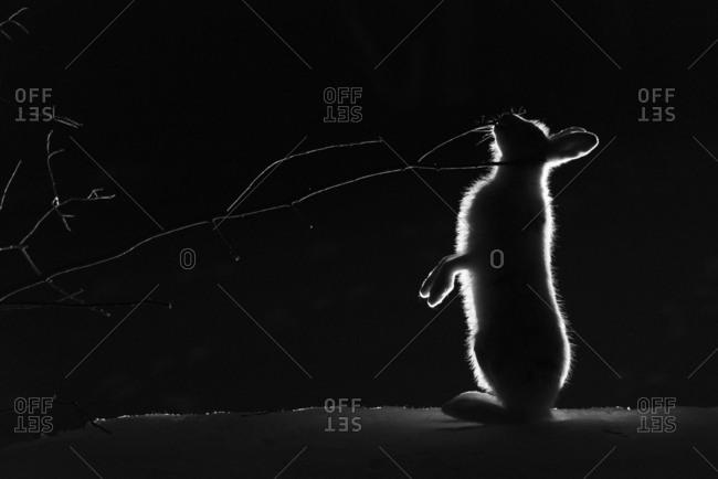 Mountain hare, Lepus timidus, feeding on birch tree branch at night