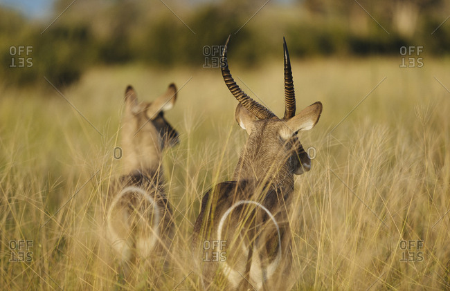 Two waterbucks, Kobus ellipsiprymnus, in tall grasses
