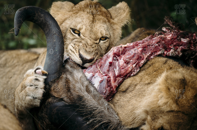 A young lion, Panthera leo, on a wildebeest carcass