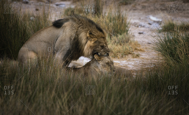 Male lion and lioness, Panthera leo, mating in tall grasses