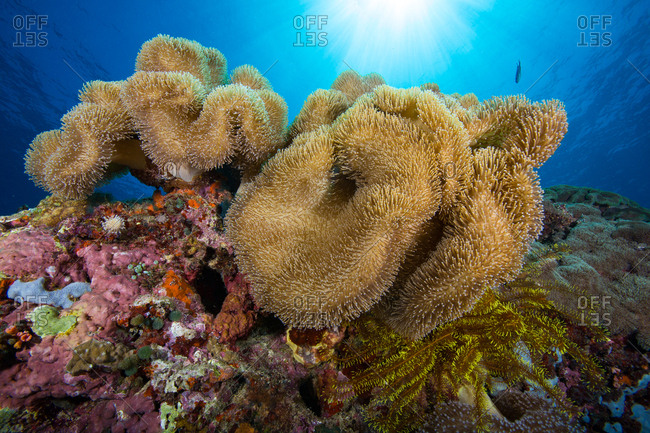Mushroom soft corals and sunbeams on a coral reef