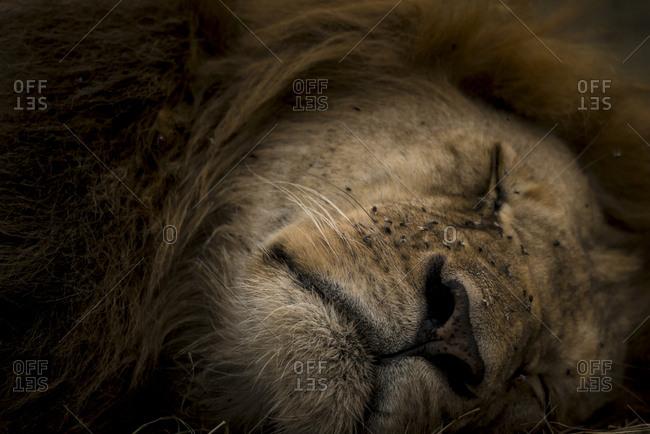 Portrait of a sleepy lion, Panthera leo, in Masai Mara National Reserve