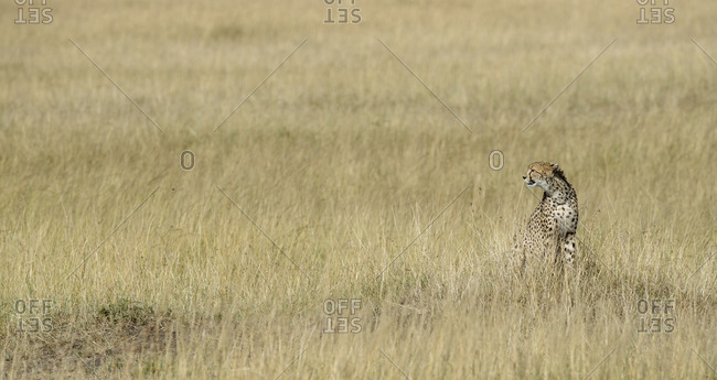 An alert cheetah, Acinonyx jubatus, in the Masai Mara Game Reserve