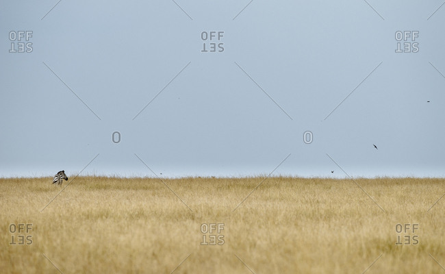 Burchell's or common zebras grazing in a Kenyan savanna