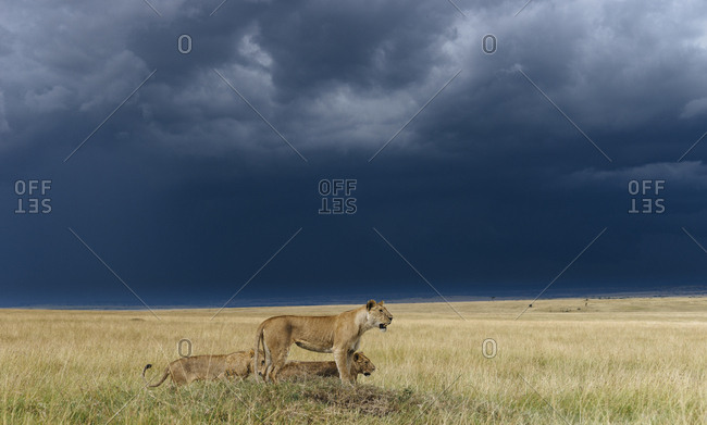A lion pride, Panthera leo, resting on a hill top, in the Masai Mara National Reserve