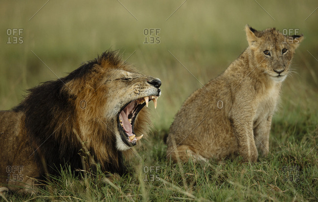 Male lion, Panthera leo, showing its authority to the lion cubs in the Masai Mara National Reserve