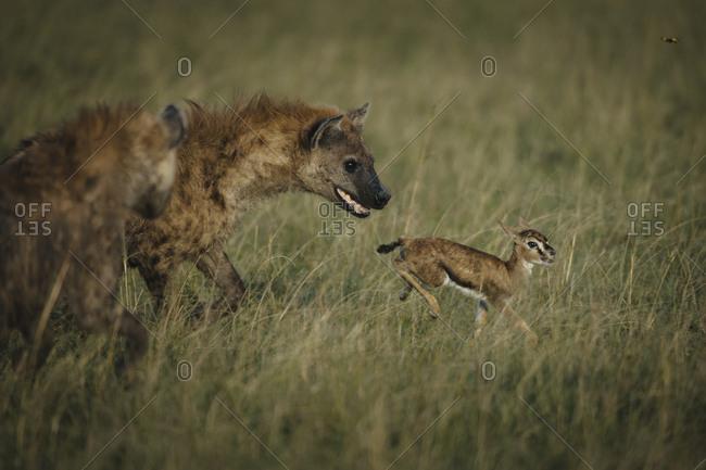 Spotted hyenas, Crocuta crocuta, hunting a newly born Thompson's Gazelle in the Masai Mara Reserve