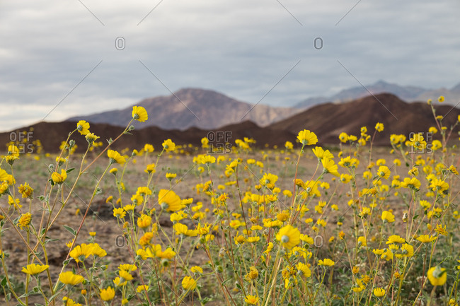 The superbloom wildflowers are caused by a higher amount of rainfall the previous year