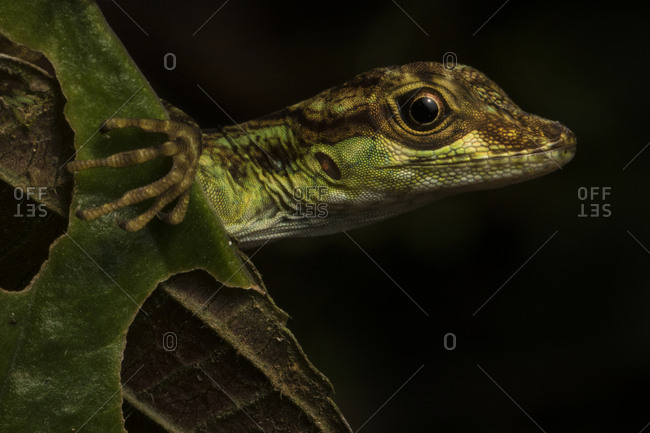 A juvenile Charm Anole, Anolis gracilipes, looks out from behind a leaf
