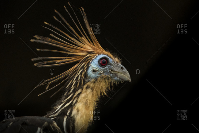 Portrait of an Hoatzin, Opisthocomus hoazin, also known as the stinkbird, or Canje pheasant