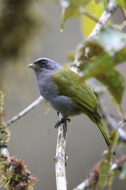 Blue-capped Tanager, Thraupis cyanocephala, perched on a tree in the montane rainforest