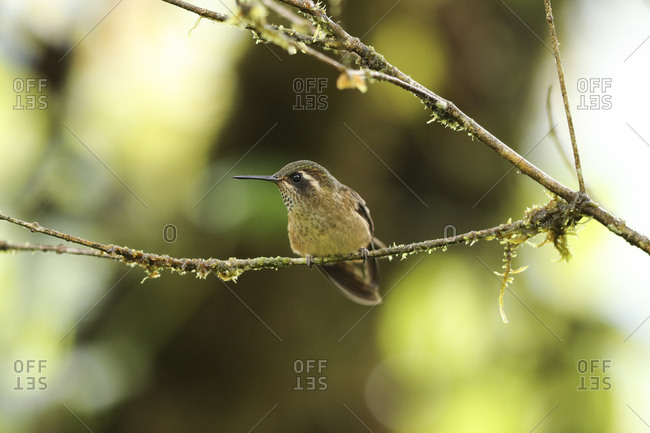 Speckled Hummingbird, Adelomyia melanogenys, perched in a bush in the montane rainforest