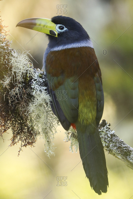 Hooded Mountain-Toucan, Andigena cucullata, perches on a tree in montane rainforest