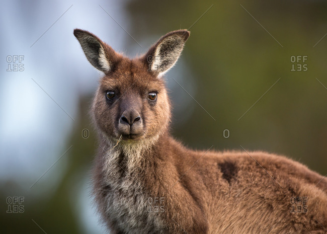 Portrait of a western grey kangaroo, Macropus fuliginosus, with grass in its mouth