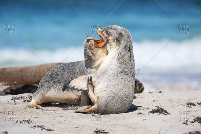 Young Australian sea lions, Neophoca cinerea, mouthing each other on the beach