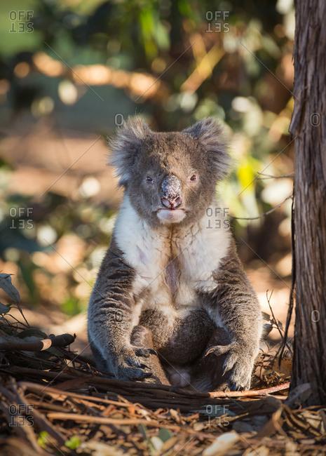 A large male koala, Phascolarctos cinereus, sitting upright under a tree