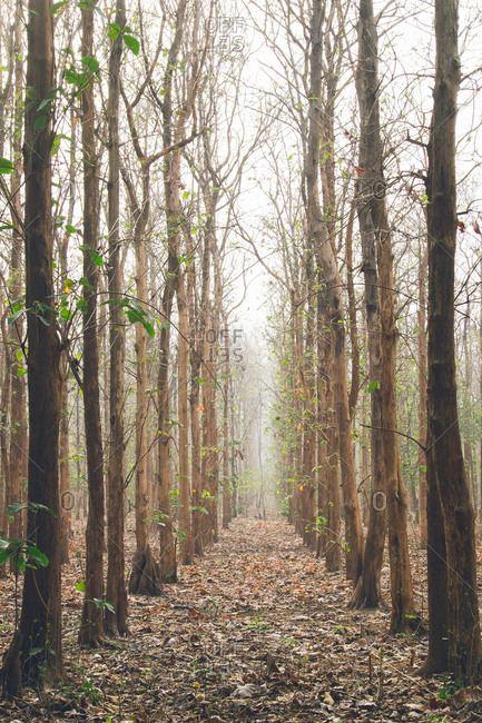 Tall trees in the Jim Corbett National Park in India