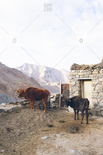 Two cows by stone house in Leh, Ladakh, India