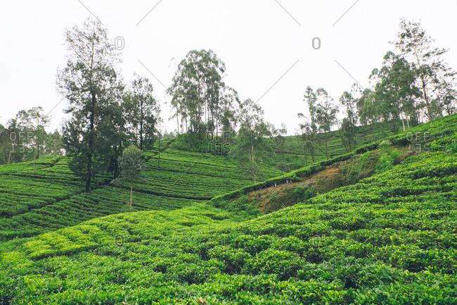 Green hillside in Nuwara Eliya, Sri Lanka