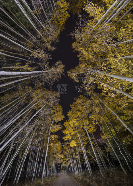 Low angle view of aspen trees growing in forest during night