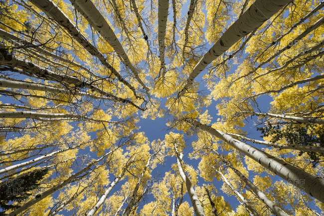 Directly below shot of aspen trees growing against sky in forest