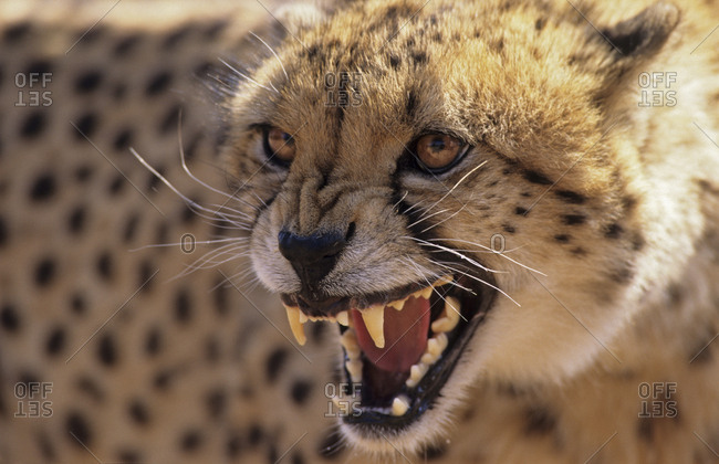 Cheetah snarling (Acinonyx jubatus). DeWildt Cheetah Research Centre.  South Africa. Captive