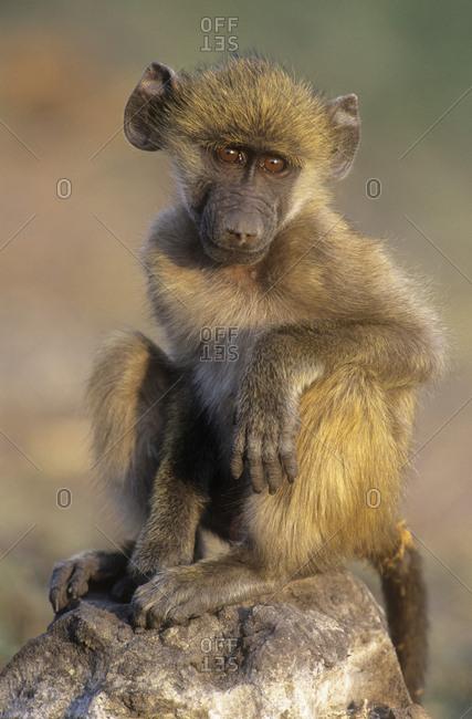 Chacma baboon (Papio ursinus) juvenile portrait. Chobe National Park, Botswana